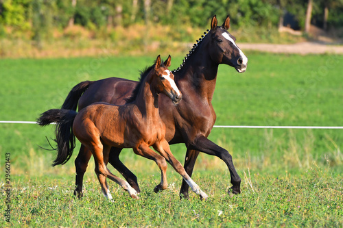 Dark bay mare with blaze and plated mane running with her foal in the green field Fototapete