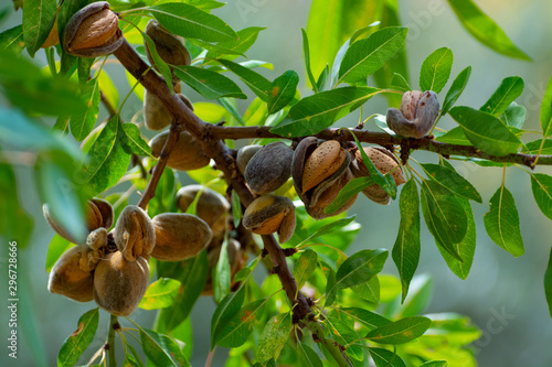 Foto Ripe almond nuts on tree ready for harvest