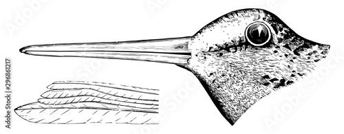Obraz na plátně American Woodcock Head vintage illustration.