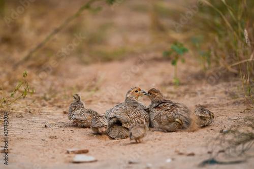Obraz na plátně grey francolin or grey partridge or Francolinus pondicerianus family with chicks