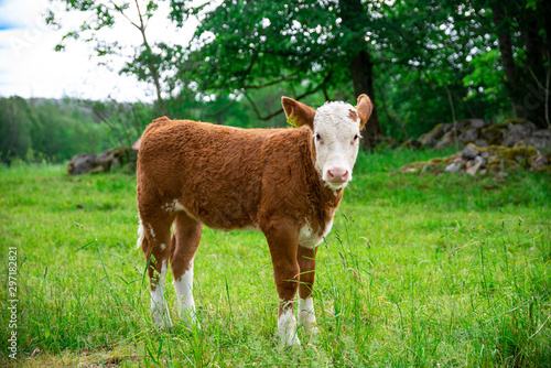 Tableau sur Toile A small little brown calf with white head stands alone in a field without a mother