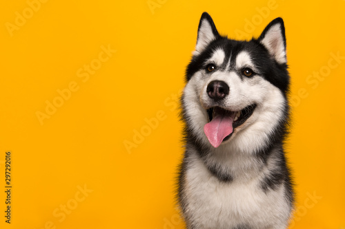 Canvas Print Portrait of a siberian husky looking at the camera with mouth open on a yellow b