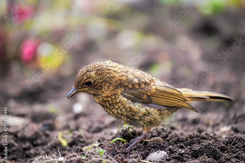 Foto Robin fledgling foraging on the ground