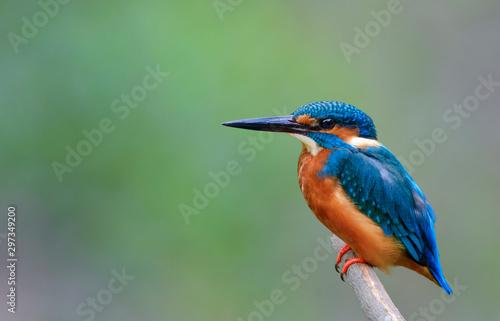 Photo Beautiful bird in nature Common Kingfisher (Alcedo atthis)