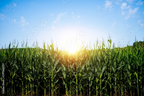 Canvas Print Beautiful shot of a cornfield with the sun shining in a blue sky