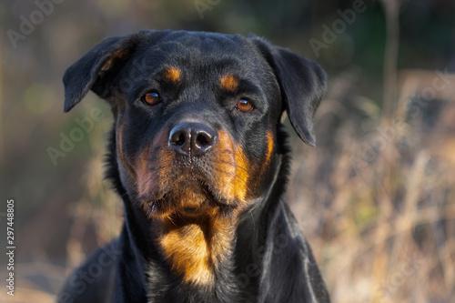 Fotografie, Obraz Rottweiler Close Up Face Autumn Fall