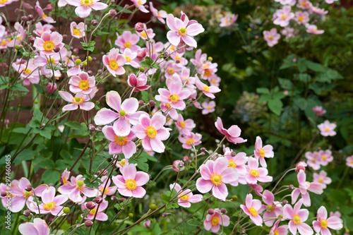 Fotografering Beautiful anemone hupehensis blossom in garden.