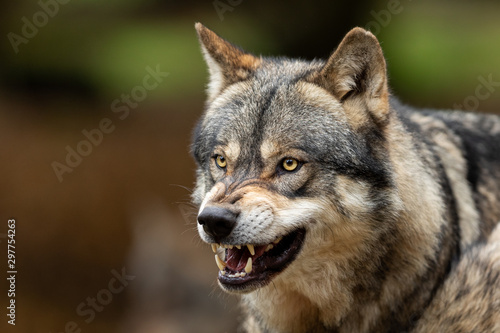 Fotografía Grey wolf angry in the forest