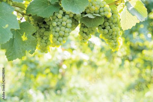 Stampa su Tela White wine grapes on the vine against blurred sunlit foliage