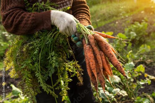 Leinwand Poster Farmer hands in gloves holding bunch of carrot in garden