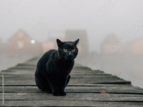 Fotografiet Black cat outdoor. Foggy morning over the lake.
