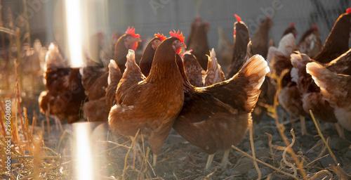 Carta da parati Poulets fermiers élevés en plein air