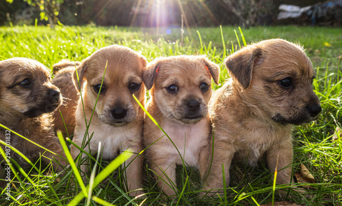 Foto Four brown puppies in the grass