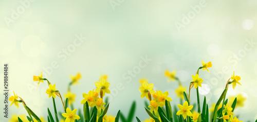 Tablou Canvas Yellow daffodil flowers