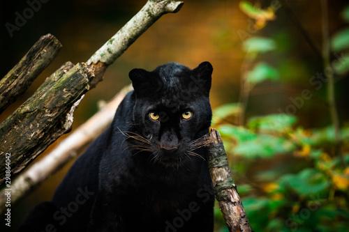 Obraz na plátně Black panther in the jungle