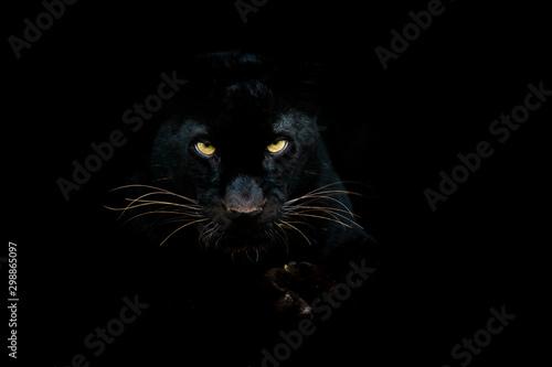 Fotografía Black panther with a black background