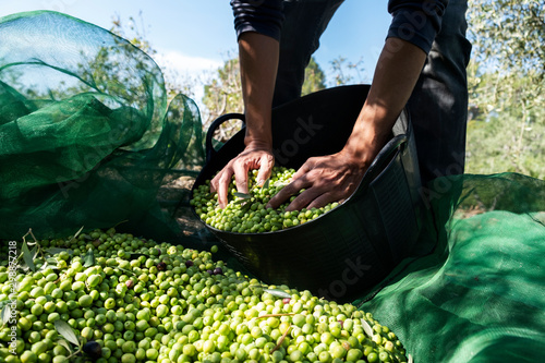 Fotografia man harvesting olives in Spain