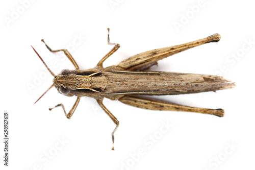 Obraz na plátně Brown grasshopper isolated on white background, top view