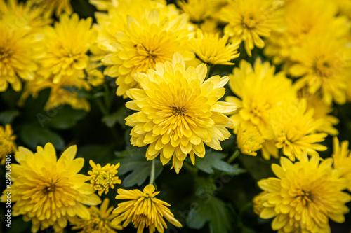 Carta da parati A full frame photograph of bright yellow chrysanthemum flowers on a sunny autumn