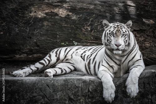 Billede på lærred beautiful portrait of white bengal tiger in wildlife
