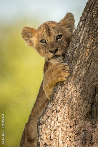 Obraz na plátně Close-up of lion cub peeking round tree