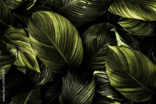 Carta da parati Spathiphyllum cannifolium leaf concept, dark green abstract texture, natural bac