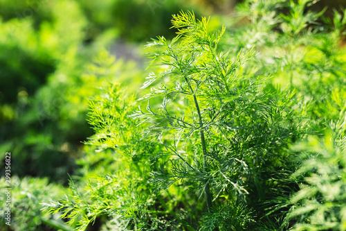 Photo Good green organic dill in farmer's garden for food