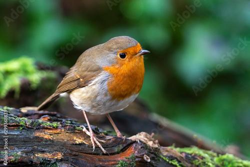 Carta da parati Robin redbreast ( Erithacus rubecula) bird a British garden songbird with a red