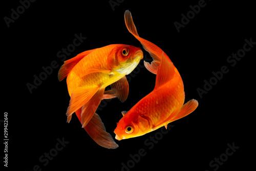 Obraz na plátne Goldfish isolated black background