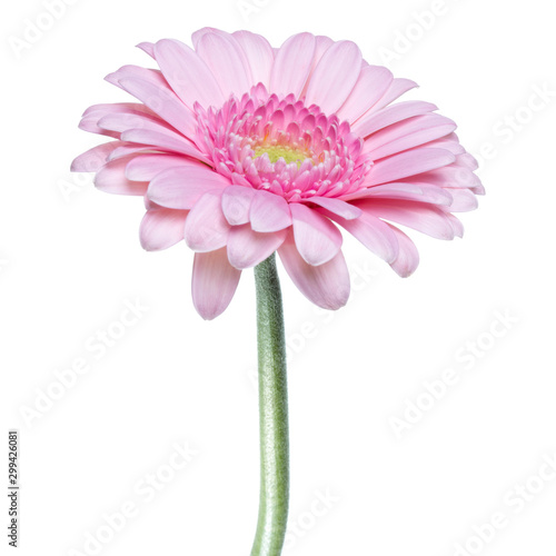 Carta da parati Vertical pink gerbera flower with long stem isolated over white background