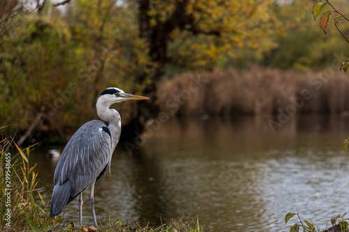 Tablou Canvas great blue heron