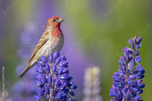 Beautiful house finch bird perched on a purple-petaled flower on a blurred background