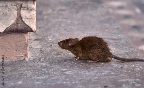 Fotografia Young brown rat looking for food.