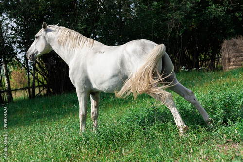 Canvas Print White lipizzaner horse is stretching before urinating.