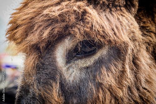 Fotografie, Obraz Close up of a donkey eye