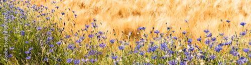Fotografía Randstreifen - Kornblumen an einen Getreidefeld