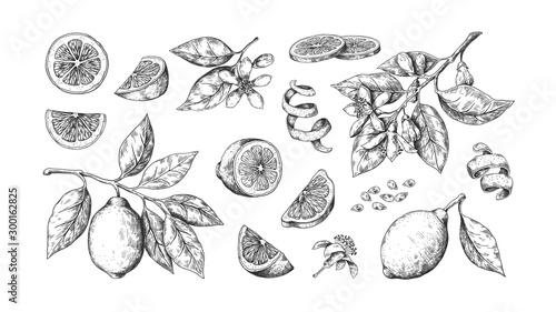 Obraz na plátně Hand drawn lemon