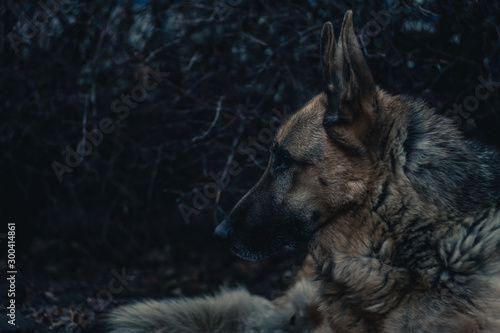 Canvas Print German shepherd dog portrait in dark gloomy forest