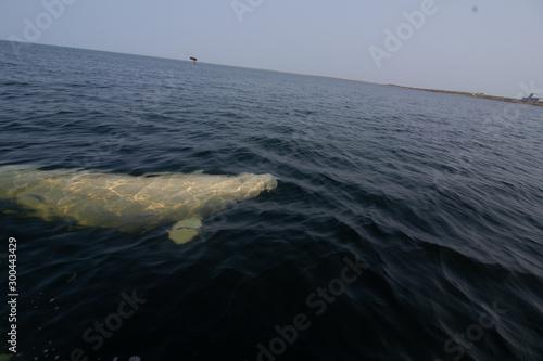 Fotomural beluga whales in the churchill river estuary