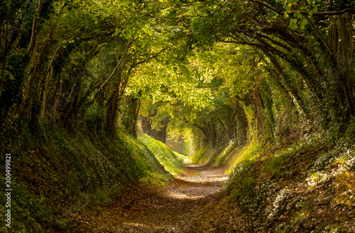 Stampa su Tela Halnaker tree tunnel in West Sussex UK with sunlight shining in