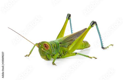 Obraz na plátně Green grasshopper isolated on a white backgroun