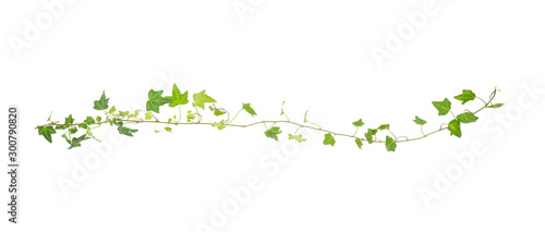Foto green ivy isolated on a white background.