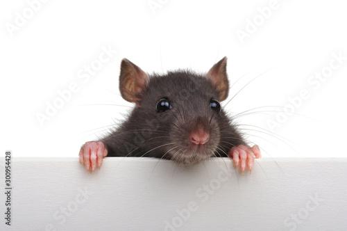 Funny rat isolated on white background. Fototapeta