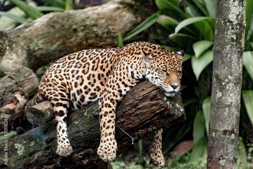 Fototapeta A beautiful Brazilian jaguar resting on a tree
