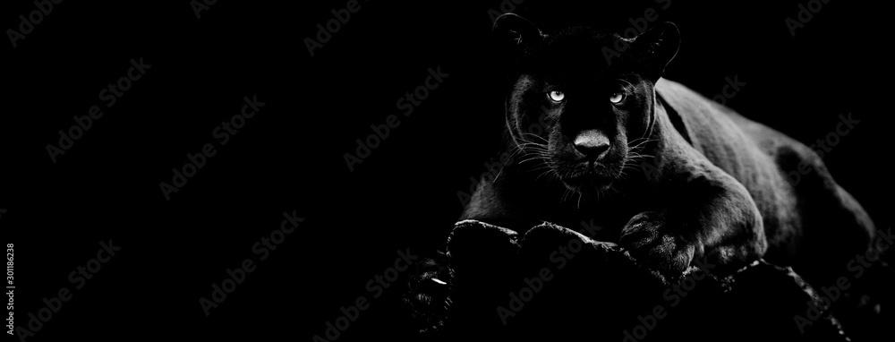 Czarny jaguar z czarnym tłem <span>plik: #301186238   autor: AB Photography</span>