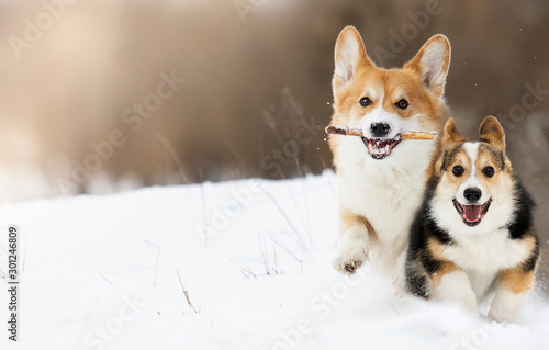 Canvas Print welsh corgi dog running outdoors in the snow