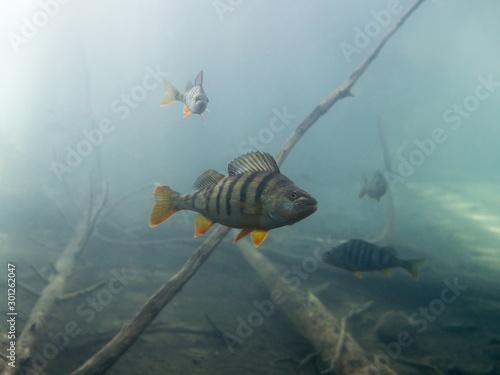 European perch underwater in a lake