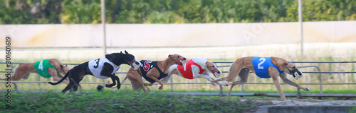 Foto Greyhound racing in Melbourne, Florida