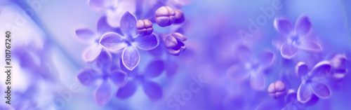 Flowers lilac beautiful delicate spring border. Soft selective focus.