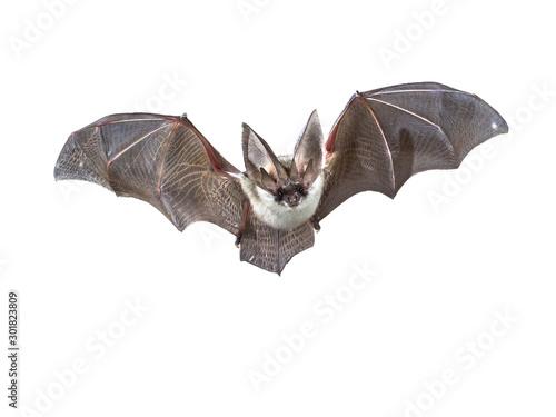 Billede på lærred Flying Grey long eared bat isolated on white background